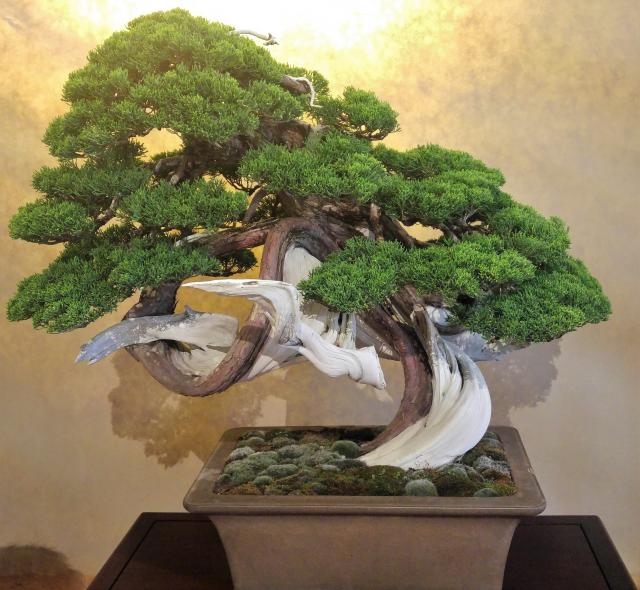 The Jin Liquid that we sell is used to obtain a whitening effect on old wood branches of bonsai