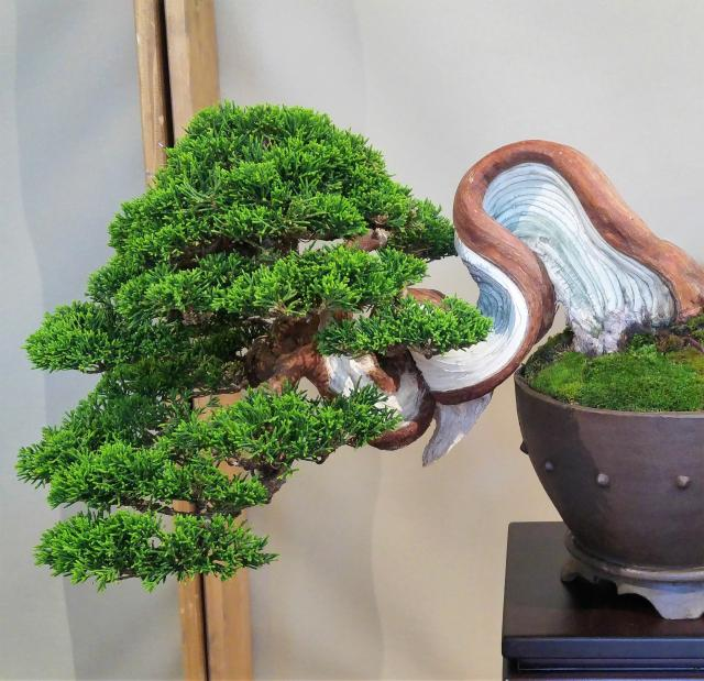 Shari is deadwood on the main trunk of the bonsai that turns around